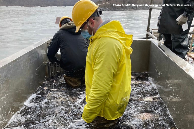 Invasive Fish from Conowingo Dam Donated to Food Banks, Science