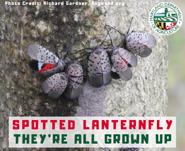 Spotted Lanternfly Adult Stage