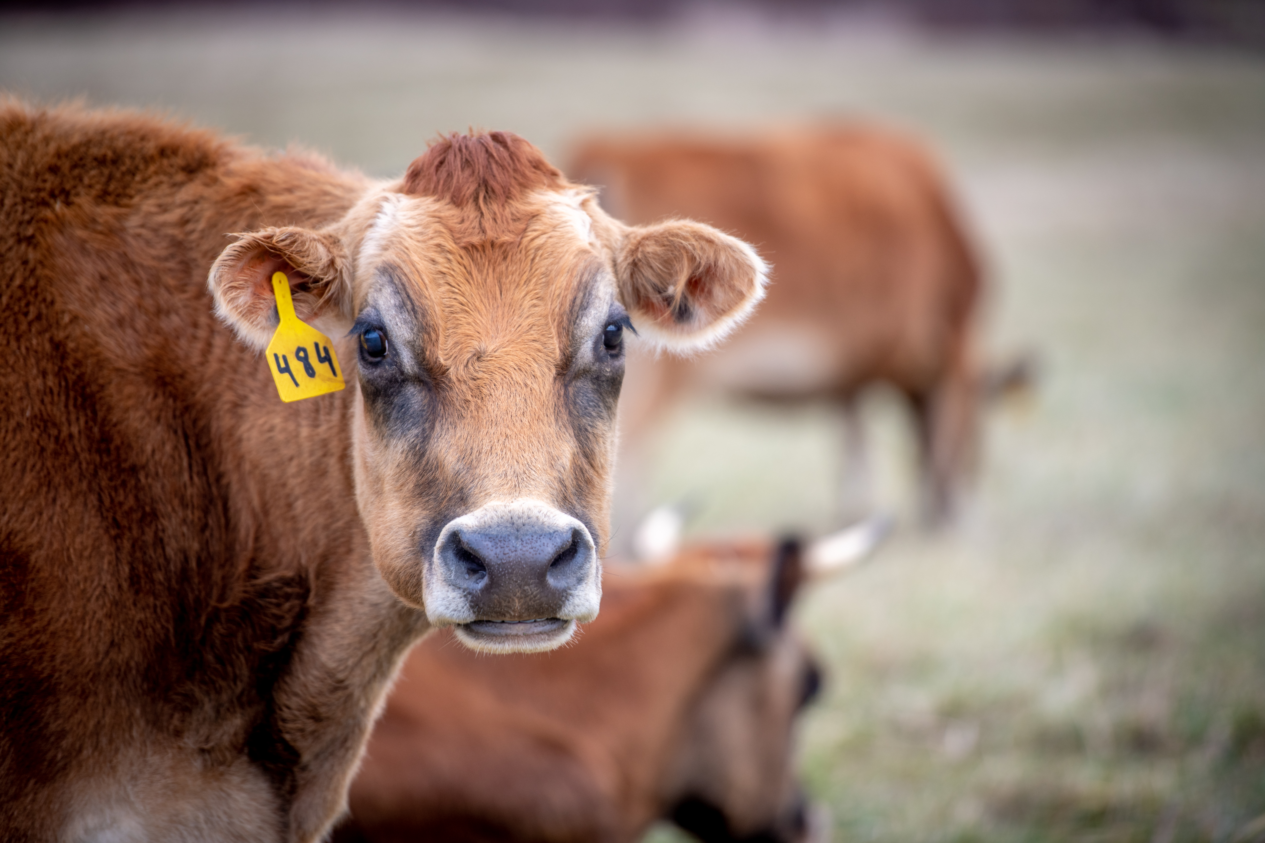 cows copyright Edwin Remsberg